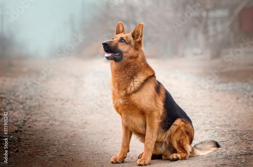 Fotografia german shepherd dog beautiful portrait magic light walk with dogs