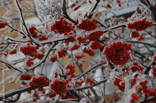 Clusters of winter mountain ash covered with a transparent crust of ice Canvas Print