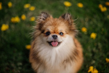 Cute Orange Pom Dog Pomeranian Breed