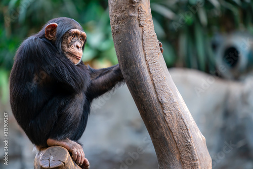 Thoughtful chimpanzee sitting on a tree trunk Tablou Canvas