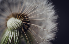 Macro Image Of The Seeds On To...