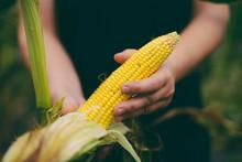 Gardener Inspecting Corn Crop ...