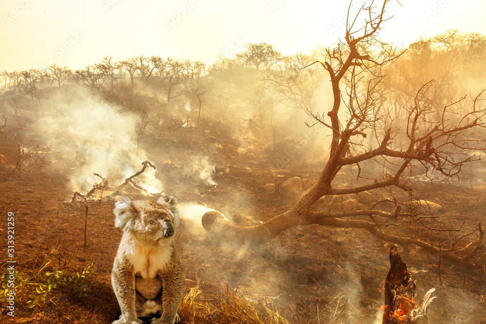 Fototapeta Composition about Australian wildlife in bushfires of Australia in 2020. koala with fire on background. January 2020 fire affecting Australia is considered the most devastating and deadly ever seen