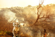 canvas print picture - Composition about Australian wildlife in bushfires of Australia in 2020. koala with fire on background. January 2020 fire affecting Australia is considered the most devastating and deadly ever seen