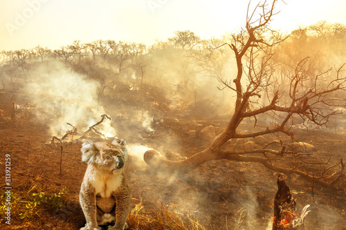 Composition about Australian wildlife in bushfires of Australia in 2020. koala with fire on background. January 2020 fire affecting Australia is considered the most devastating and deadly ever seen - 313921259