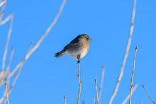 Winter Bird - A Tiny Young Flycatcher Perching On A Bare Tree Branch On A Bright Sunny Winter Day. Colorado, USA.