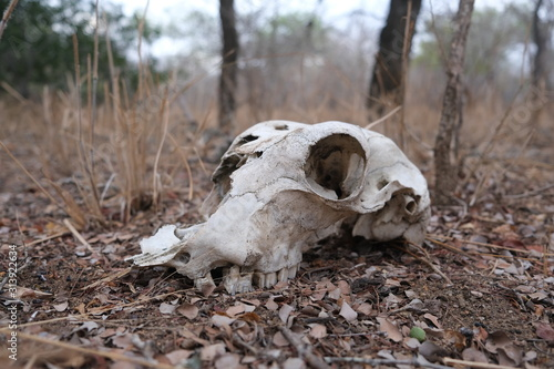 Antelope skull found in bundox camp during morning safari
