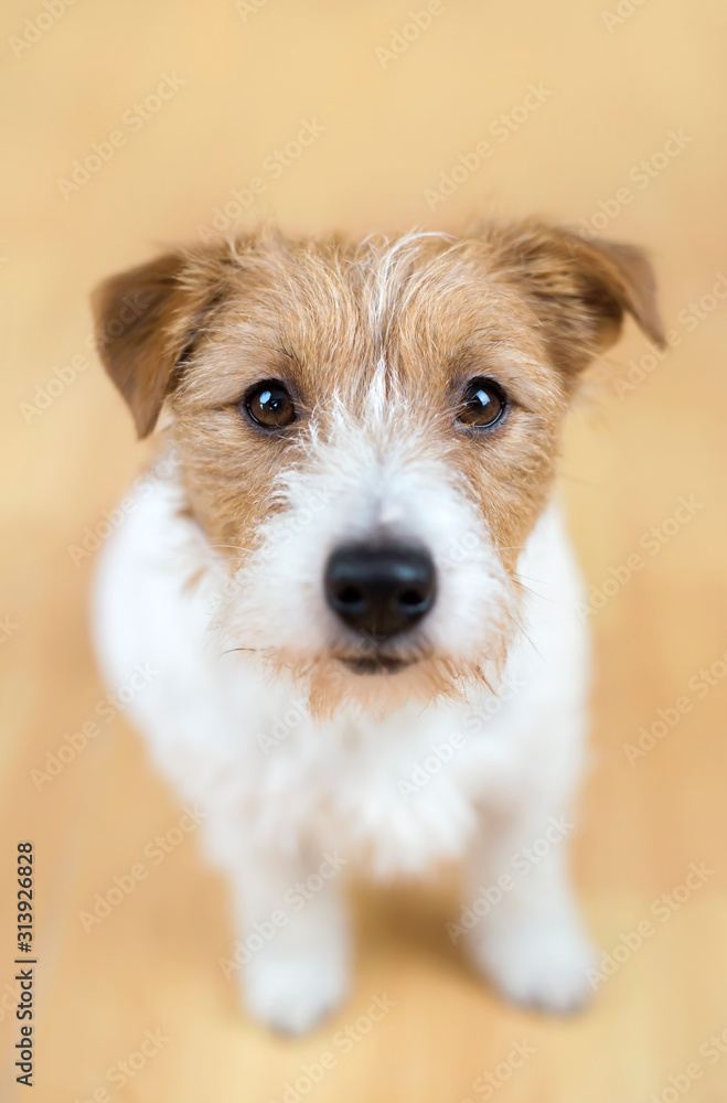 Pet training, cute small white obedient dog puppy sitting and looking