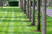 Row Of The Trees And Green Fresh Lawn