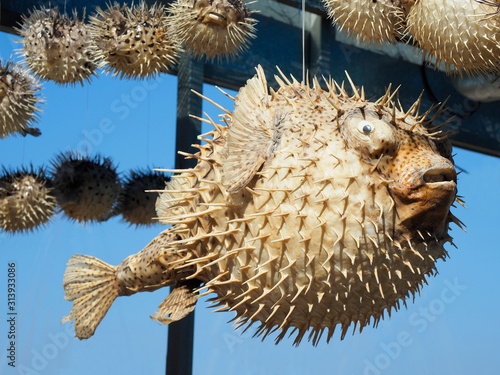 Dried Puffer Fish sold as Souvenirs in Crete Wallpaper Mural