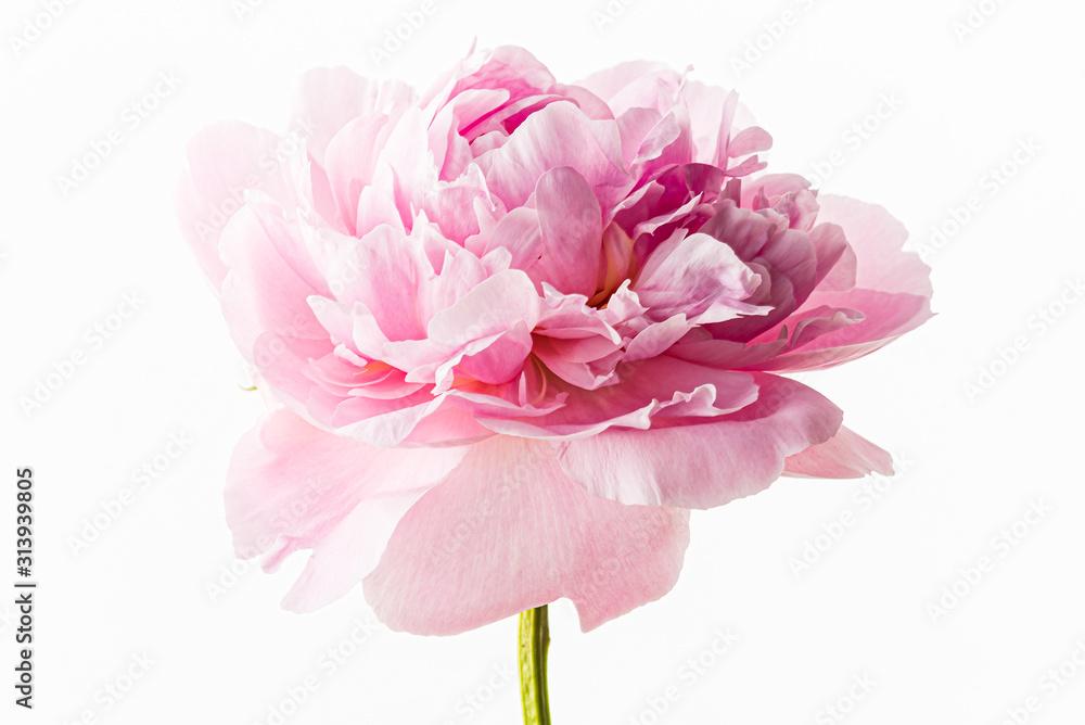 Fototapeta fresh peony flower on the white background