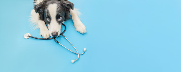 Puppy dog border collie and stethoscope isolated on blue background. Little d...