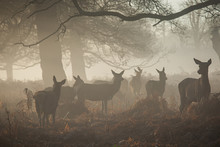 Portrait Of Majestic Red Deer Stag.