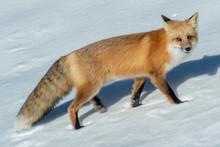 Red Fox Travels Through Snow