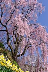 Fototapeta Łąka 春空に咲く満開のしだれ桜