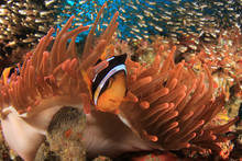 Clark's Anemonefish (Clownfish) In Red Anemone
