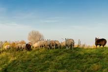 Dutch Sheep Walking On A Grass...
