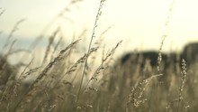 Slow Motion Zoom Natural Landscape With No Filter Color Footage Of Beautiful Walk In Could Windy Prairie  Meadow Wheat Grain Grass Field In Warm Sun With Sunset In Golden Light For Vacation Concept