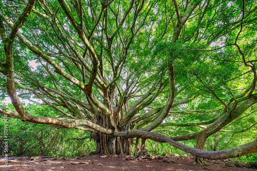 Large Banyan tree in Maui, HI along the Pipiwai trail near the road to Hana Canvas Print