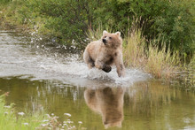 Blonde Grizzly Bear Running Th...