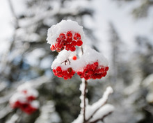 Winter Berries In The White Mo...
