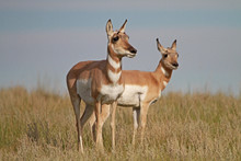 Pronghorn Antelope On The Plains
