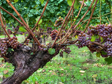 Gewurztraminer Grapes Are Ready For Harvest On Old Vines In An Oregon Vineyard
