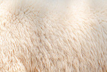 Natural Fiber Thermal Fur Wool Texture Background From Sheep With White Bright Color Tone. Backdrop For Design Art Work Or Text Message.