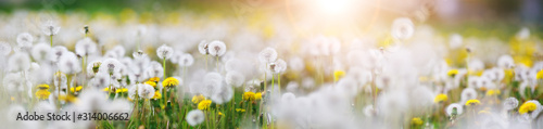 Fototapeta Green field with white and yellow dandelions outdoors in nature in summer