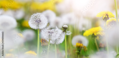 green-field-with-white-and-yellow-dandelions-outdoors-in-nature-in-summer