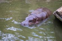 Pygmy Hippopotamus (Choeropsis Liberiensis) Swimming