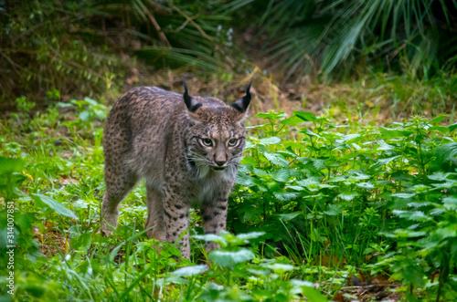 Photo The Iberian lynx (Lynx pardinus)