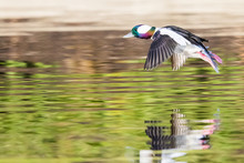 Drake Bufflehead Sails Over A Forest Pond In Morning Light