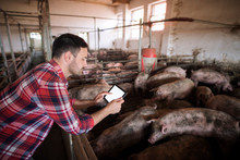 Agronomist With Pigs Domestic ...