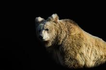 Himalayan Brown Bear On Black Background