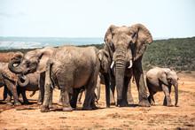 Elephants In The Addo Elephant...