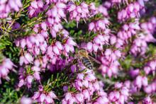 Eine Biene Sammelt Auf Einer Blume (Schneeheide) Honig