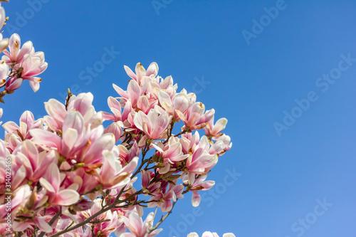 Obrazy Magnolie  magnolia-na-tle-blekitnego-nieba-wiosna