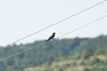 Swallow (bird) On Wire Over Blue Sky. Barn Swallow In Europe In Spring, Migratory Bird