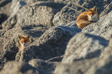 Red Fox On Big Rocks At The Coast.
