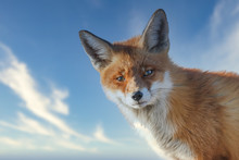 Red Fox Portrait Iwth A Nice S...