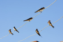 Swallow (bird) On Wire Over Bl...