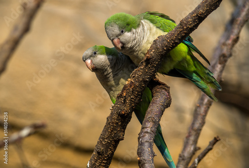 Fotomural The monk parakeet (Myiopsitta monachus), also known as the Quaker parrot, is a species of true parrot in the family Psittacidae