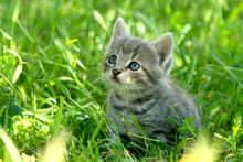 Little Funny Gray Striped Kitt...