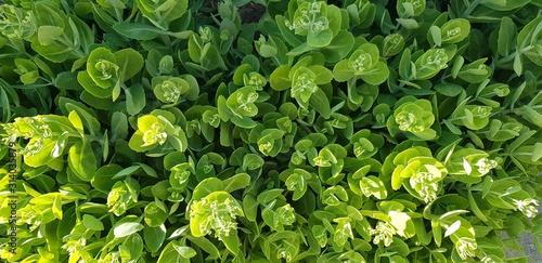 sedum spurium summer glory plants Canvas Print