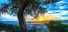 Olive Tree On Mount Of Olives ...