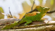 Basil (or Jesus Christ Lizard), On A Branch Over Water