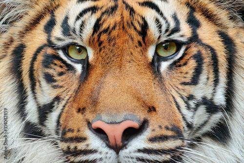 Photo  tiger