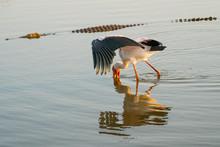 Yellow Billed Stork Feeding Wi...