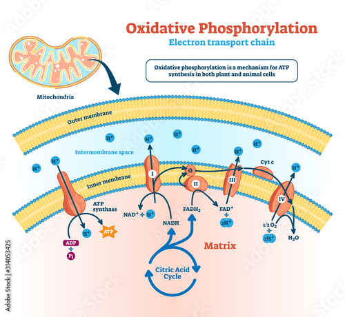 Obraz Oxidative phosphorylation vector illustration. Labeled metabolism scheme. - fototapety do salonu